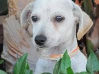 Chihuahua - Ruff - Small - Young - Male - Dog