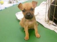 Chihuahua - Runt - Small - Baby - Female - Dog I am