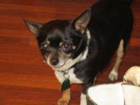 Chihuahua - Rusty - Small - Adult - Male - Dog