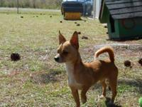 Chihuahua - Rusty - Small - Adult - Male - Dog Foster