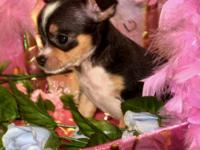 Many beautiful chihuahua pups to choose from, short and