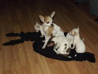 2 FEMALE TINY CHIHUAHUA'S BORN JUNE 21ST ONE IS WHITE