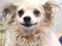 Chihuahua - Sabrina #42 - Small - Senior - Female -