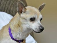 Chihuahua - Sammy - Small - Adult - Male - Dog Sammy is