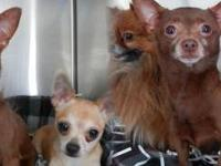 Chihuahua - Sandra - Small - Adult - Female - Dog