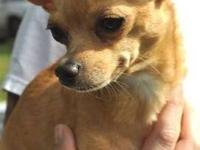 Chihuahua - Sandy - Small - Adult - Female - Dog Sandy