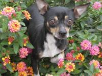 Chihuahua - Sarge - Small - Adult - Male - Dog Very