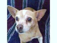 Chihuahua - Scarlett - Small - Adult - Female - Dog