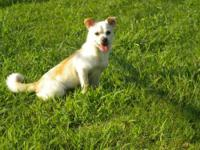 Chihuahua - Scotty - Small - Adult - Male - Dog Hi! My