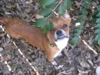 Chihuahua - Scout - Small - Young - Male - Dog Scout is