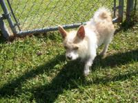 Chihuahua - Scrappy - Small - Adult - Male - Dog