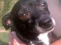 Chihuahua - Scruffy - Small - Adult - Male - Dog I am