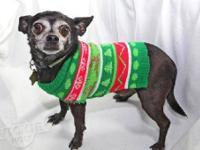 Chihuahua - Shadow (and Sugar) - Small - Adult - Male -