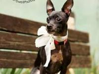 Chihuahua - Shelby - Currently In A Foster Home - Small