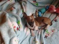 Two female Chihuahua puppies. They are 9 weeks and have