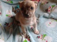June is a beautiful 11 week old chihuahua she's very