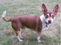 Chihuahua - Shyla - Small - Adult - Female - Dog Shyla