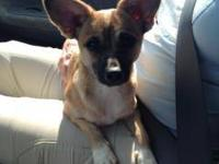 Chihuahua - Sierra - Small - Baby - Female - Dog This