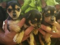 3 male 8 week old chihuahua/silky terrier puppies up