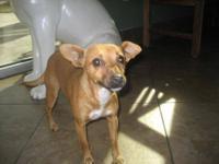 Chihuahua - Sissy Chiweenie - Small - Baby - Female -