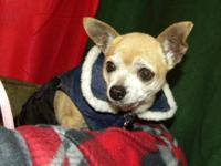 Chihuahua - Sissy - Small - Senior - Female - Dog Eight