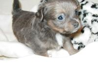 CKC little female chihuahua ... charting 5 pounds