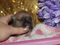I have this beautiful blue fawn female puppy available,