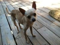 Chihuahua - Spankey - Small - Young - Male - Dog