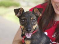 Chihuahua - Sparkles - Small - Young - Female - Dog