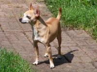 Chihuahua - Spike - Adopted - Small - Adult - Male -