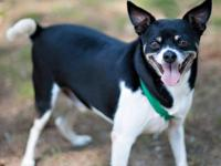 Chihuahua - Spike Ct - Small - Adult - Male - Dog