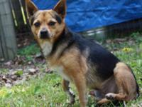 Chihuahua - Sport - Small - Adult - Male - Dog Sport is