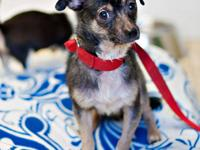 Chihuahua - Spunky Ct - Small - Young - Male - Dog