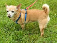 Chihuahua - Star - Small - Adult - Female - Dog Star is
