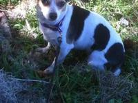 Chihuahua - Suela - Medium - Adult - Female - Dog $90