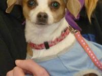 Chihuahua - Sugar Baby - Small - Adult - Female - Dog