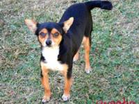 Chihuahua - Sweetie - Small - Adult - Female - Dog