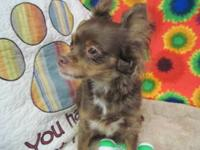 Chihuahua - Taffy - Small - Young - Female - Dog She