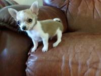 Chihuahua Teacup Puppy ... extremely small !!!! Will be