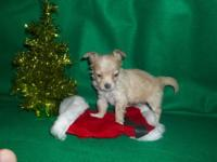 Chihuahua puppy teacup!!!! sable and white, female,