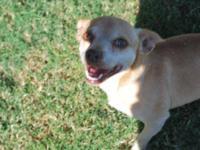 Chihuahua - Teko - Small - Adult - Male - Dog Teko is a