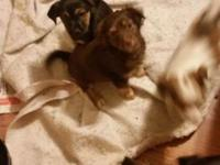 8 week old chihuahua terrier puppies looking for loving