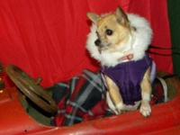 Chihuahua - Tiki - Small - Senior - Female - Dog Tiki