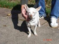 Chihuahua - Tilly - Small - Adult - Female - Dog Hi, my