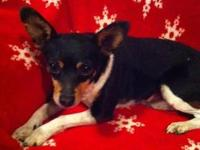Chihuahua - Timmy - Small - Adult - Male - Dog Timmy is
