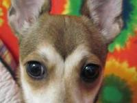 Chihuahua - Tina - Small - Young - Female - Dog She 1