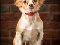 Chihuahua - Tinkerbell - Small - Adult - Female - Dog