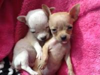 Chihuahua APPLEHEAD TINY Puppies, Ready for a new Home.