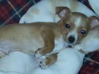 tiny chihuahua female Pets and Animals for sale in the USA - Puppy