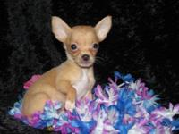 "CHIHUAHUA "" TINY "" MALE PUPS CKC REGISTERED LONG &"